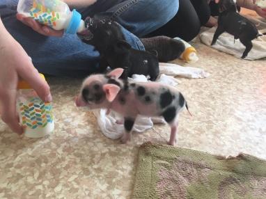 Tiniest piglet ever